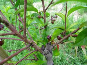 kleine Pfirsiche