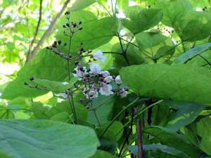 Catalpa-Blüte