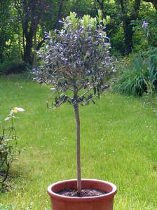 Olivenbaum 2006