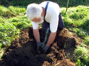 Pinie wird eingepflanzt
